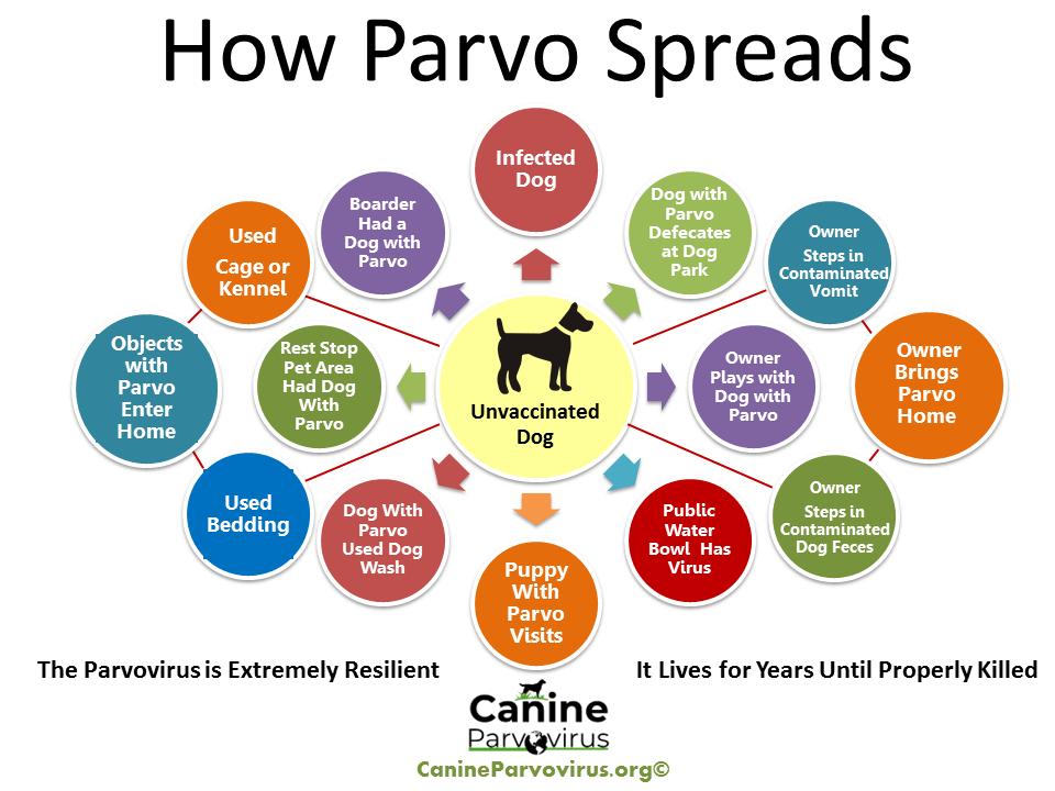 how parvo spreads information flyer