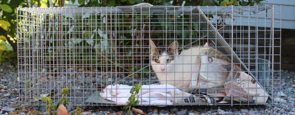 Cat In TNR Trap