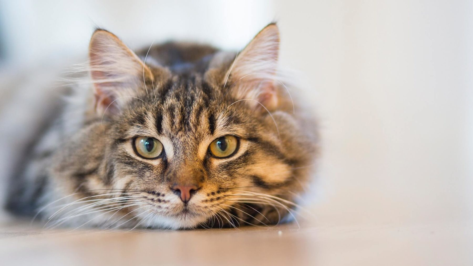 Photo of Cat Laying Down
